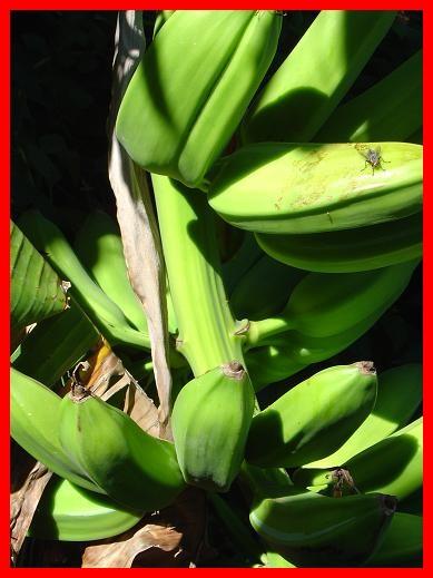 bananafly2.JPG