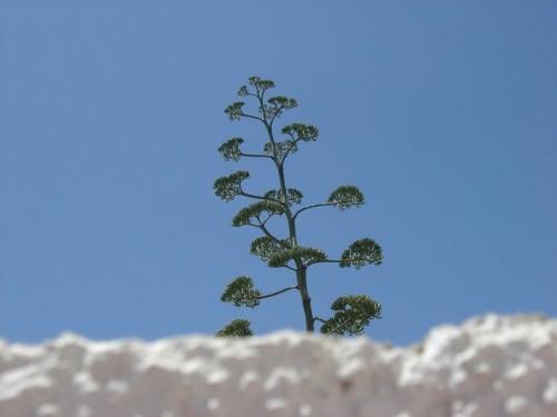 agaveblue