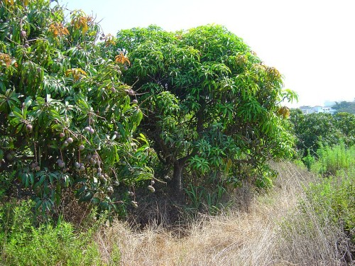 Roadside Mango tree..ooh the temptation