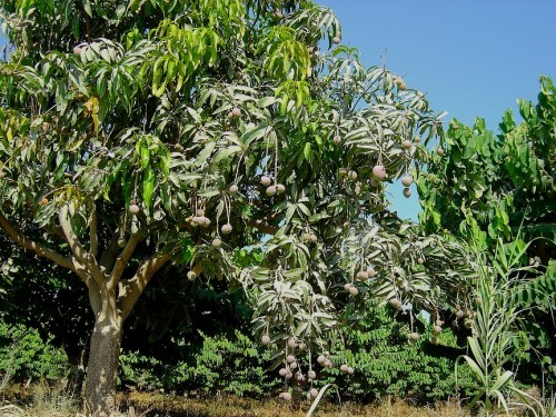 More Mangoes, it won't be long..Gee I hope I can find these trees in the dark