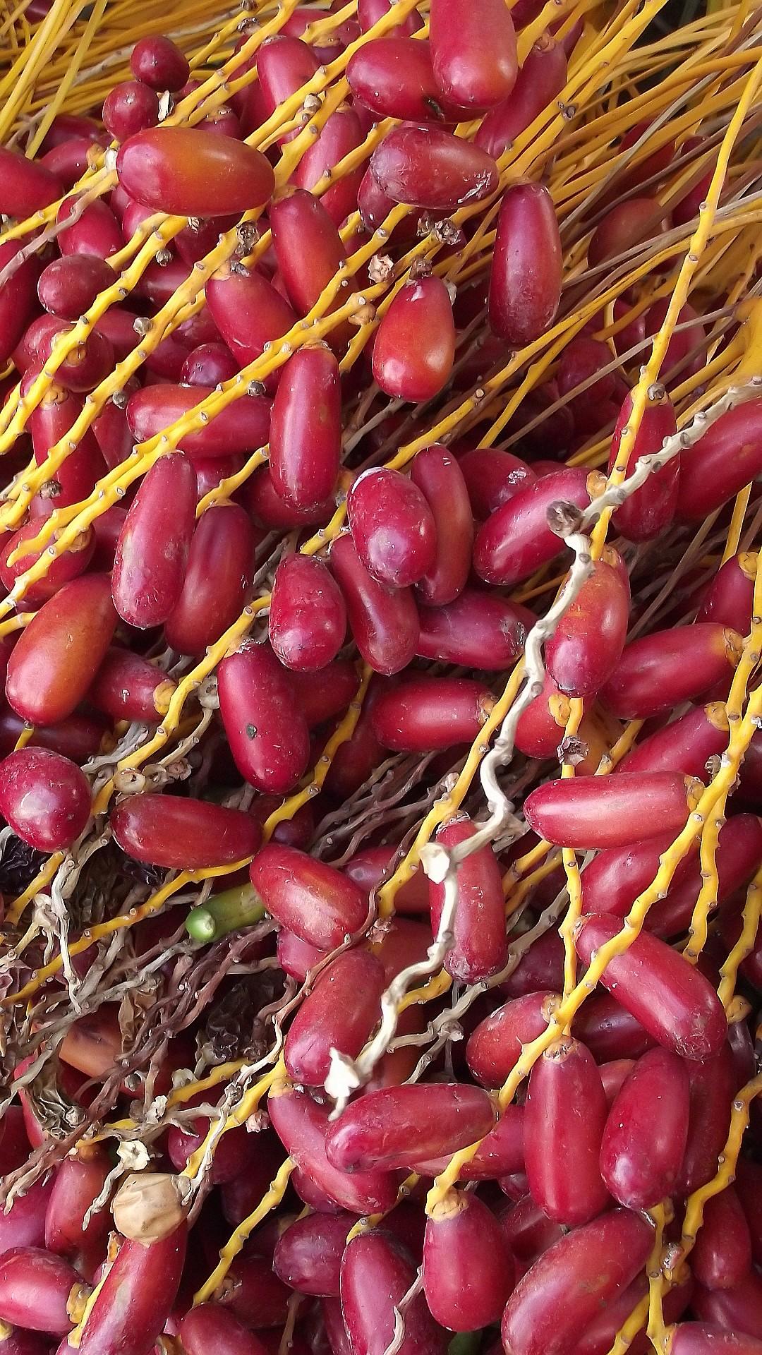 dates fruit seniordate