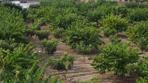 The smaller trees in this orchard are the N´spero, the others are Chirimoya.