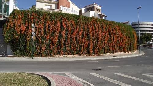 The big orange wall in Motril, Cape Honeysuckle